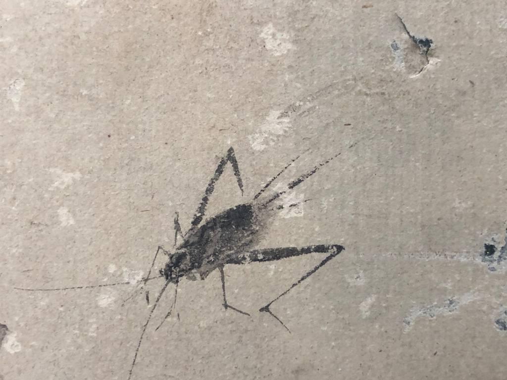 Aquarelle XVII e entomologie insectes vers 1630 insecte | Puces Privées